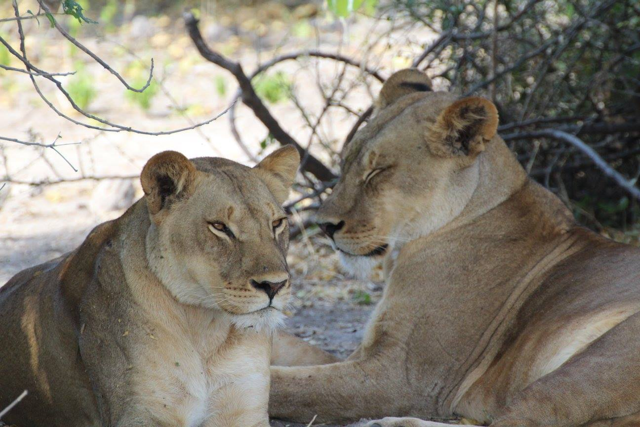 Stunning sisters relaxing after a buffalo kill/feed in Chobe National Park