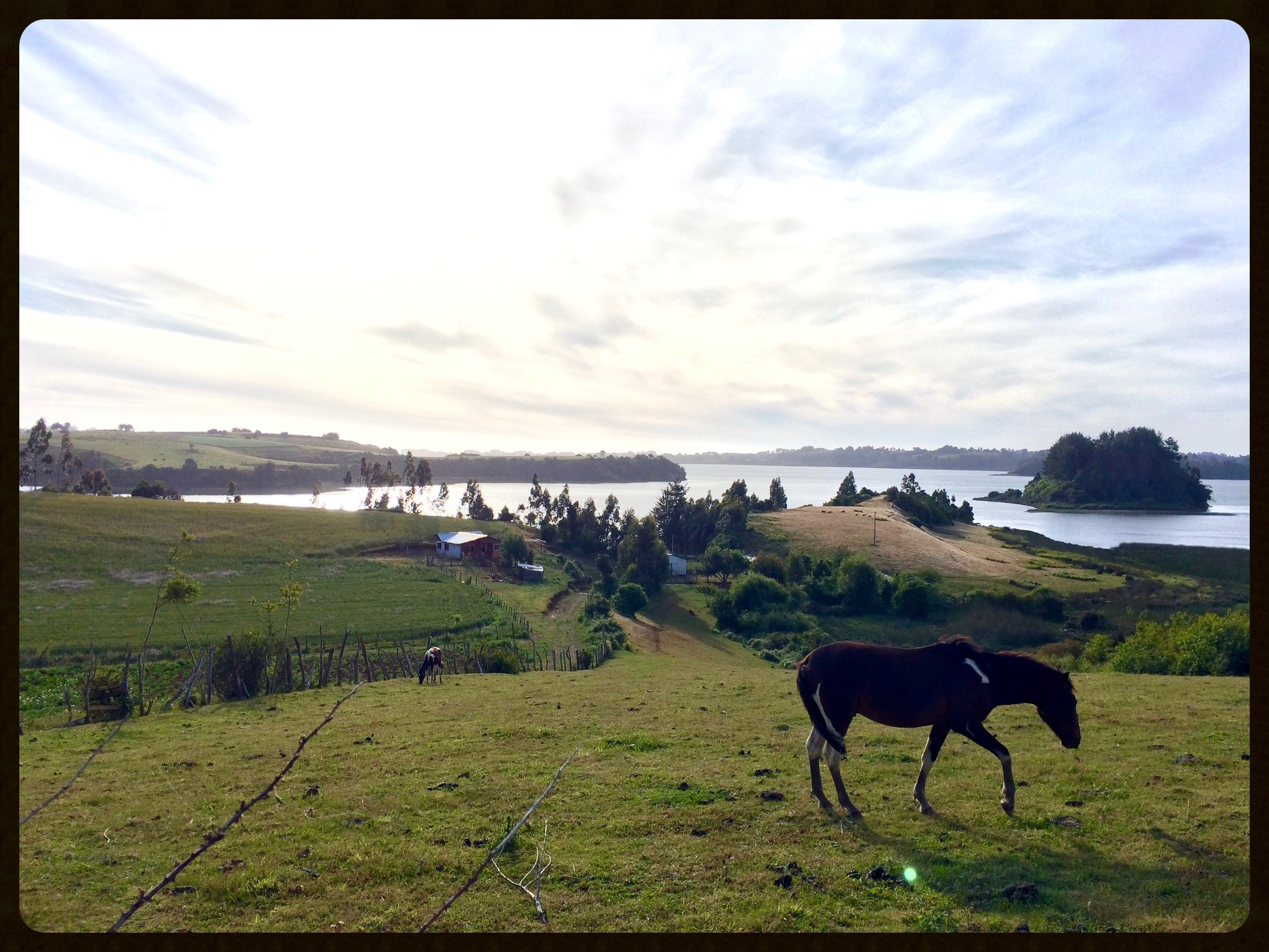 Horses grazing near Lake Budi