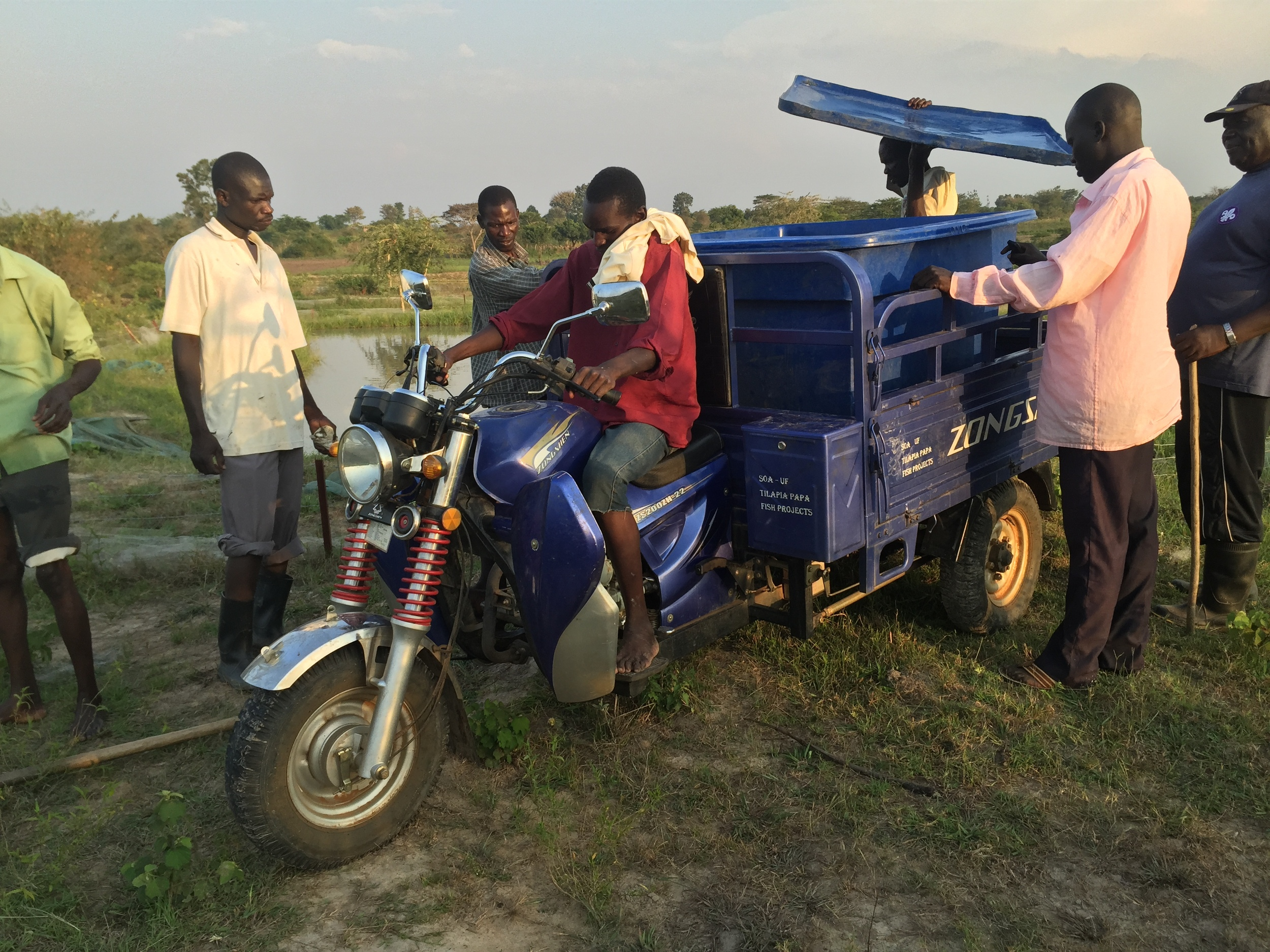 Transporting the fingerlings to their new home by tricycle