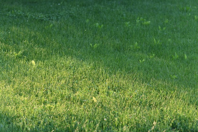 The beauty of a chemical-free lawn