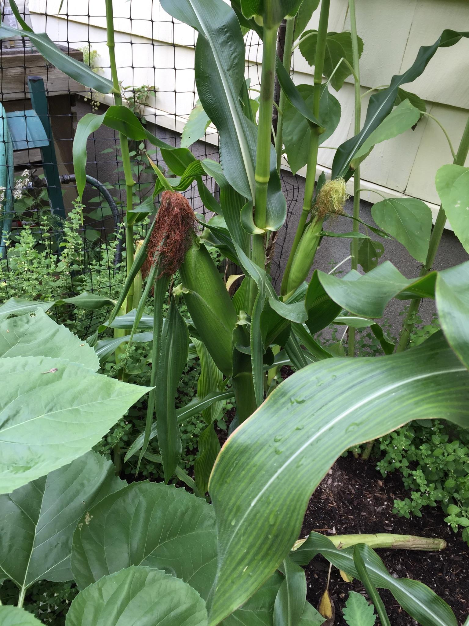 The Peters' Vegetable Garden
