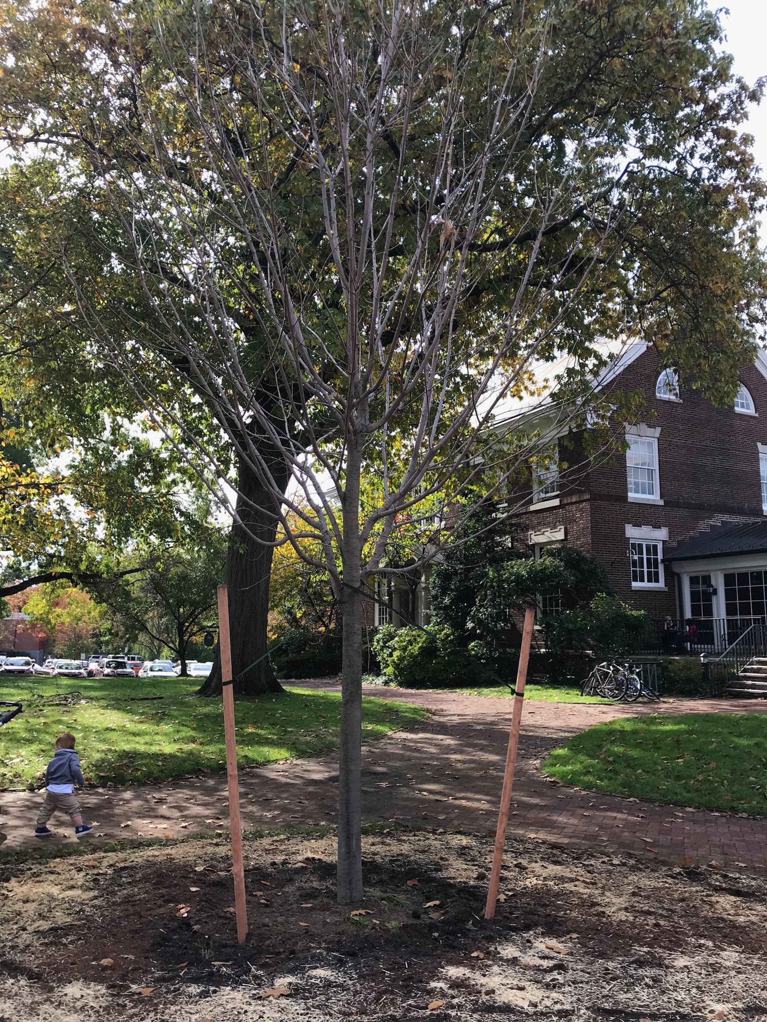 Village Green: A Sugar Maple replaces a Maple that had died