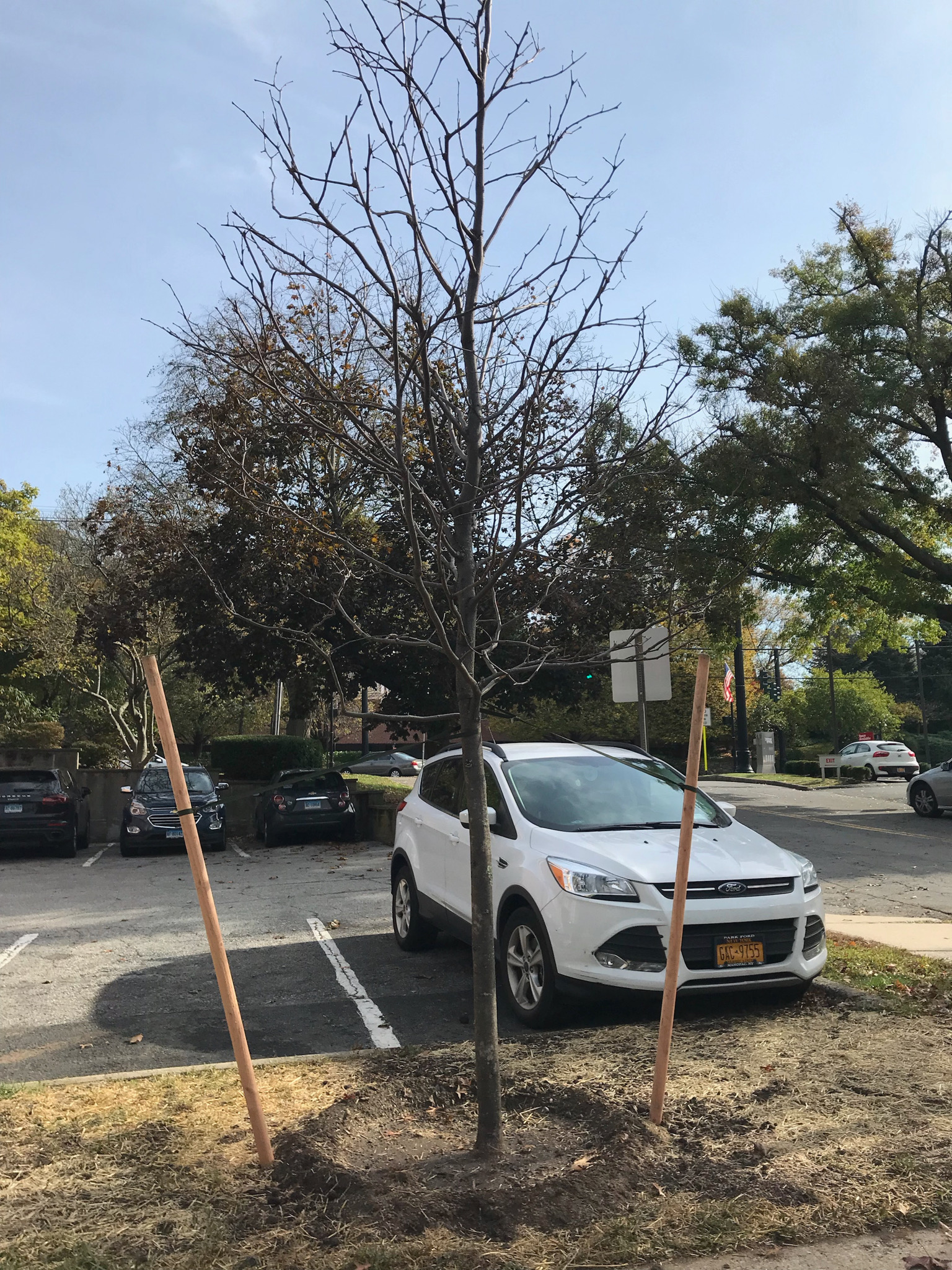 City Hall Parking Lot: Thornless Honey Locust