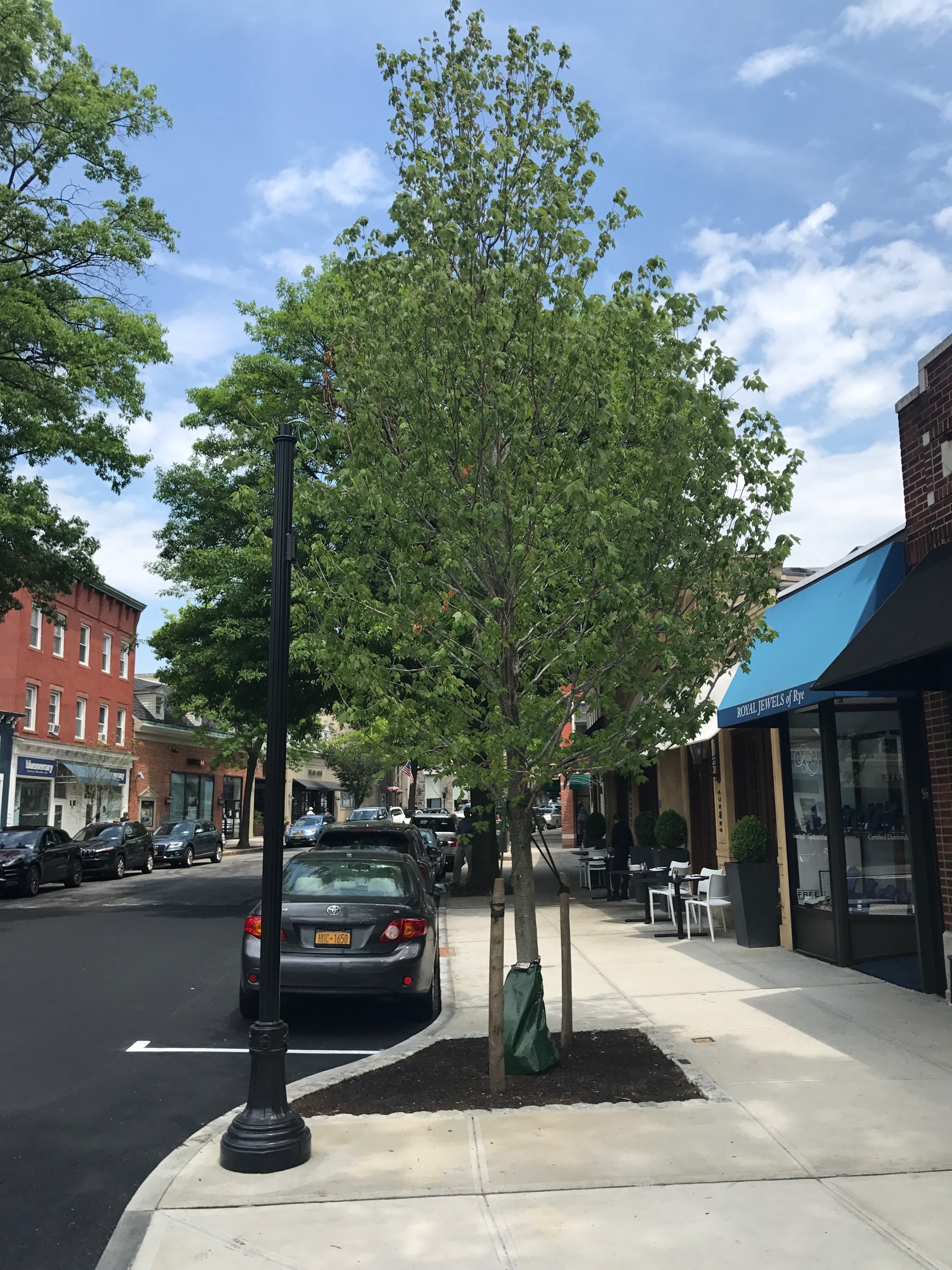 One of Rye's street trees funded by the Rye Tree Fund.