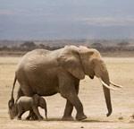 elephant-picturesdotinfo