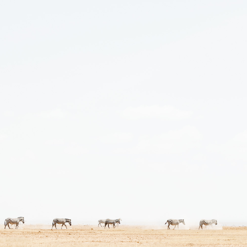 Zebra in Dust, Amboseli, 2014