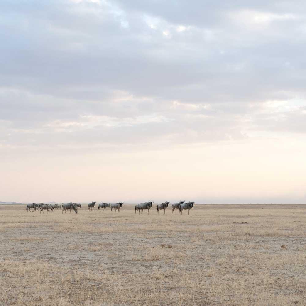 Wildebeest Herd, Amboseli,2014