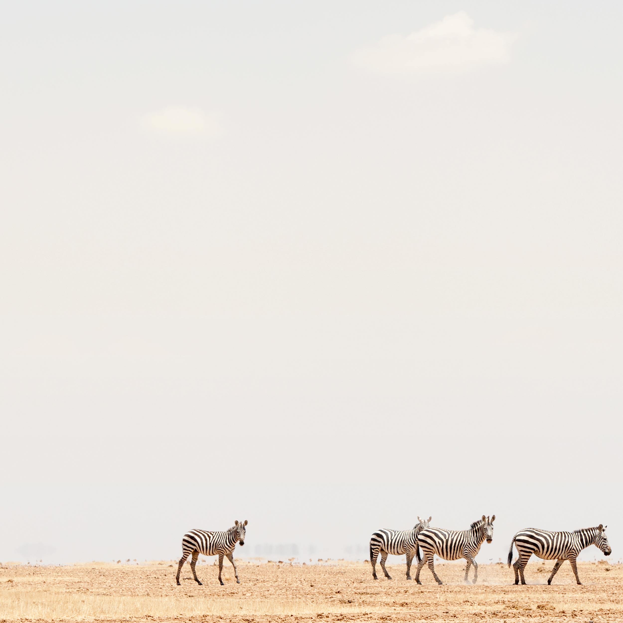 Young Zebra Staring, Amboseli, 2014