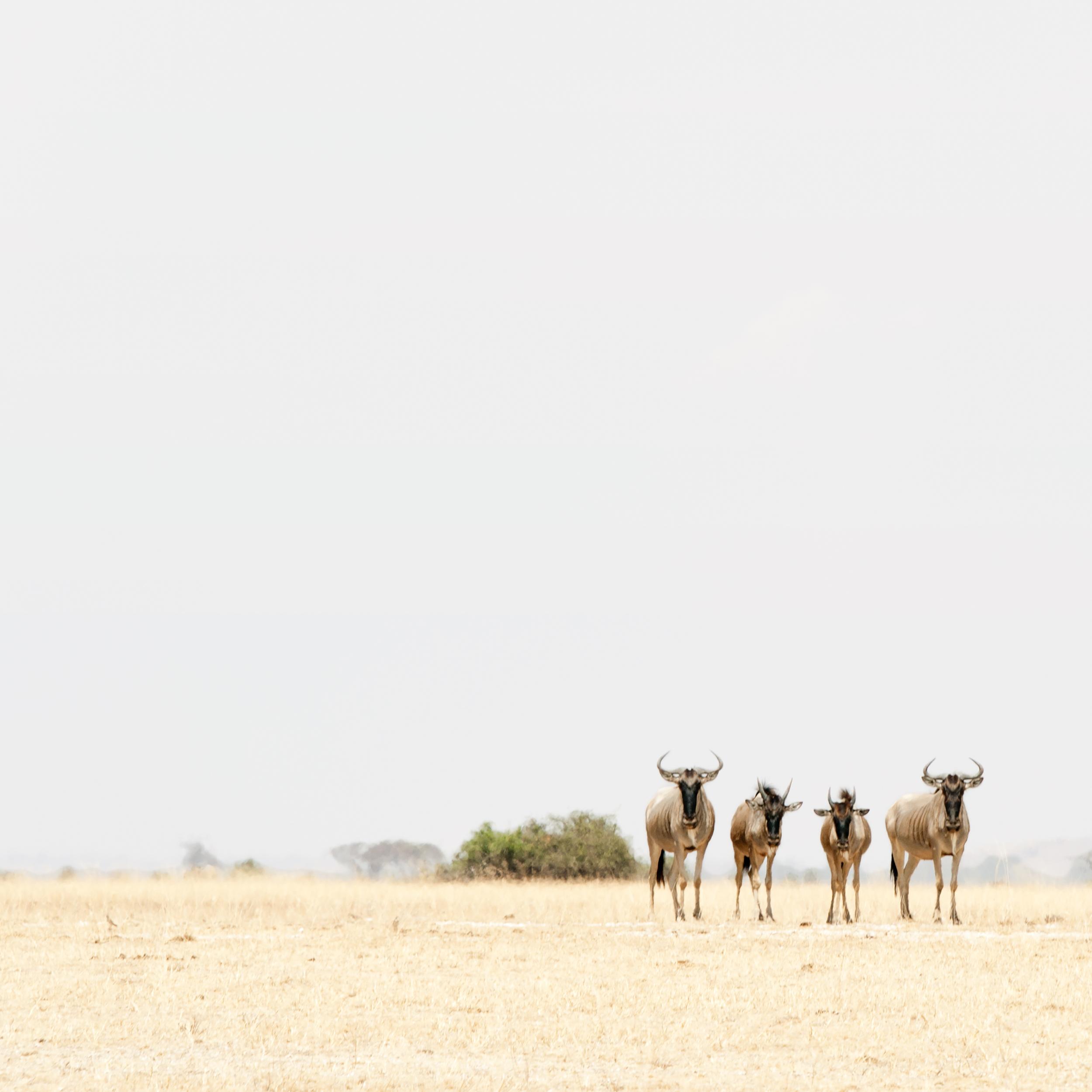 Four Wildebeest, Amboseli, 2014