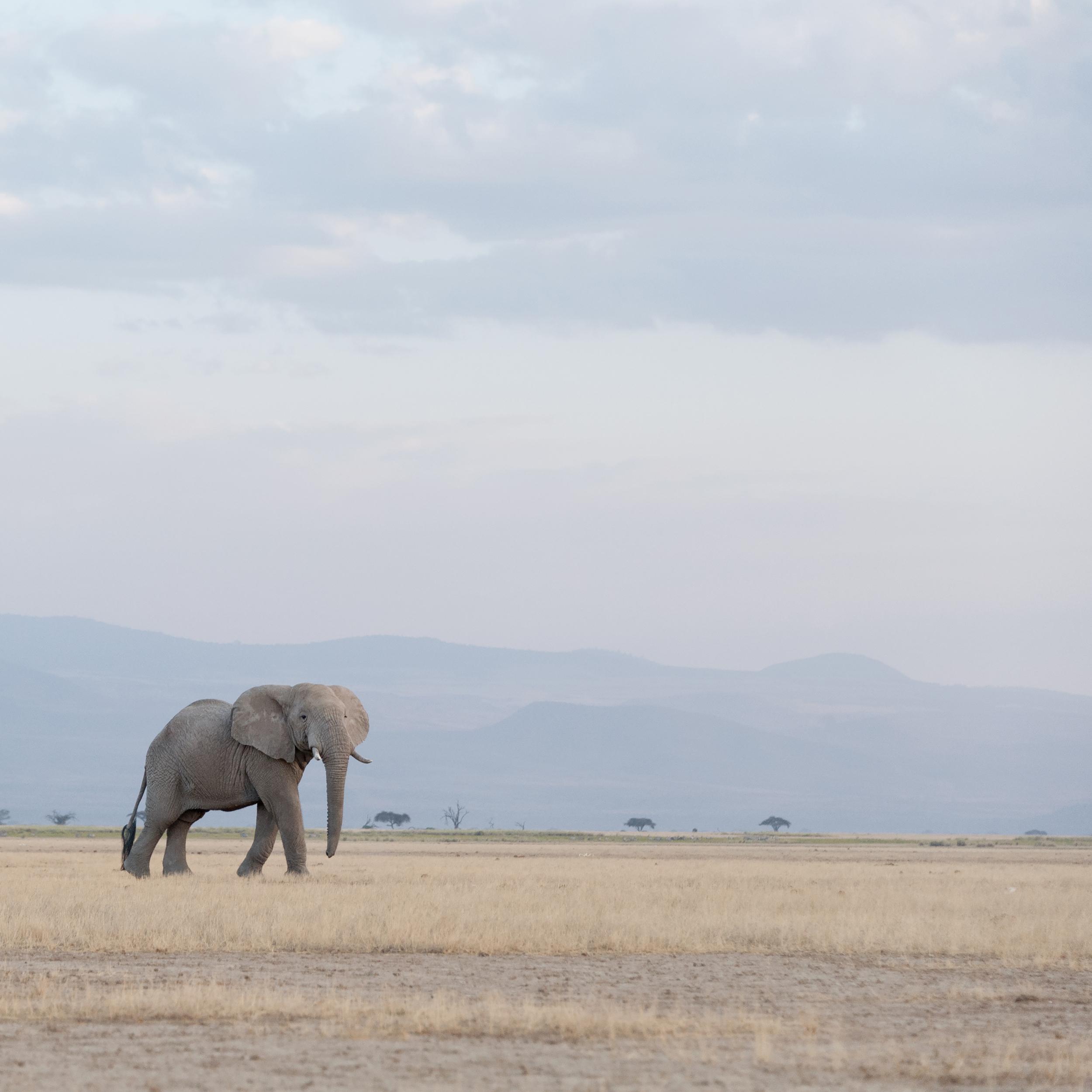 Elephant at Dusk, Near Kilimanjaro,Amboseli, 2014