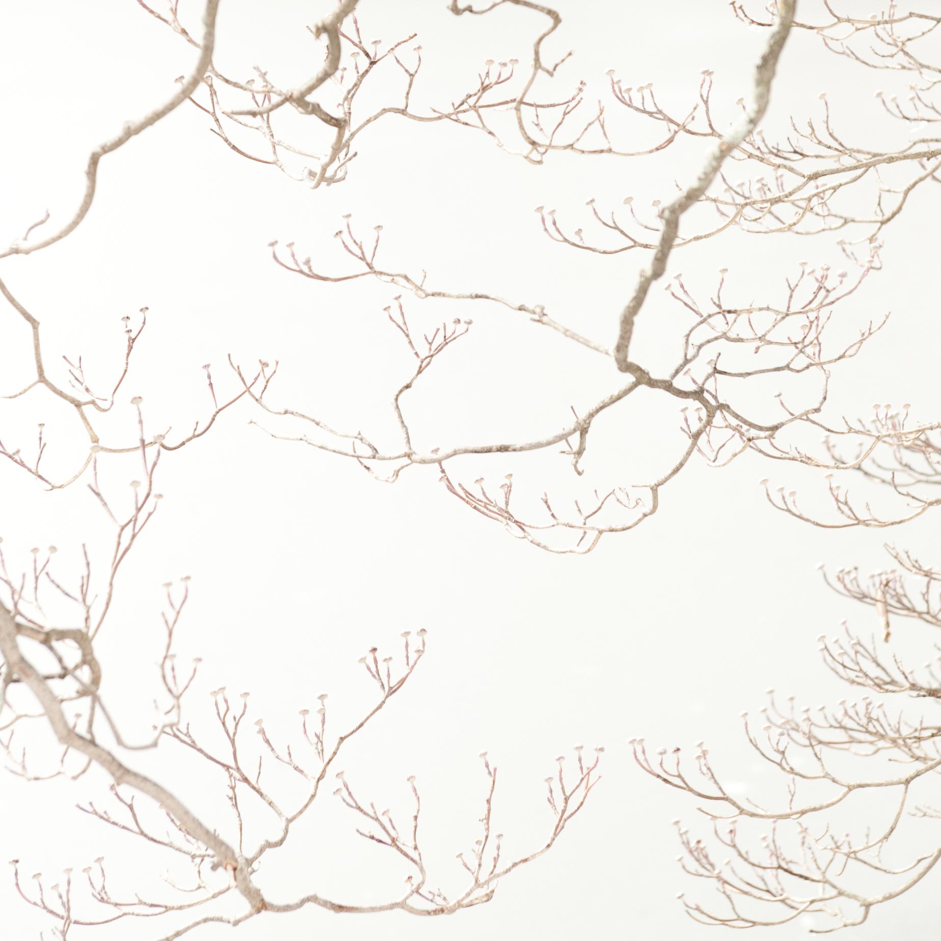 Study in Snow, Dogwood Tree, 3