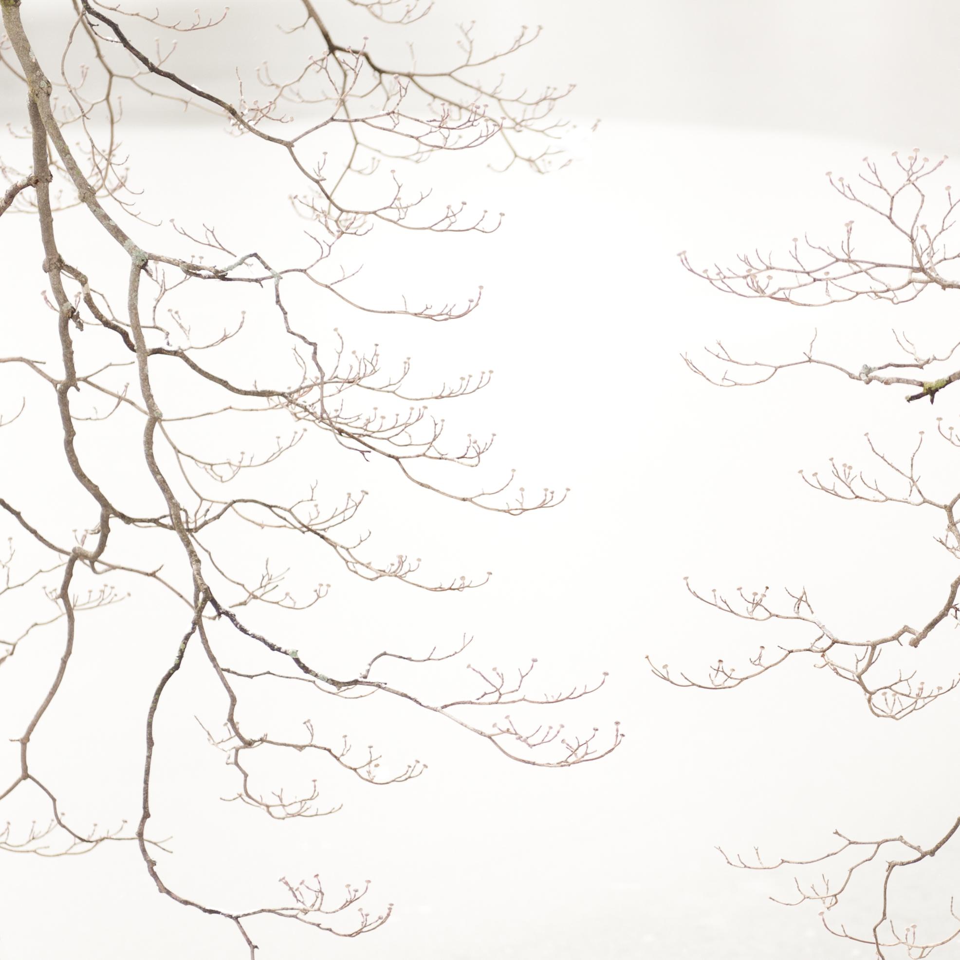 Study in Snow, Dogwood Tree, 5