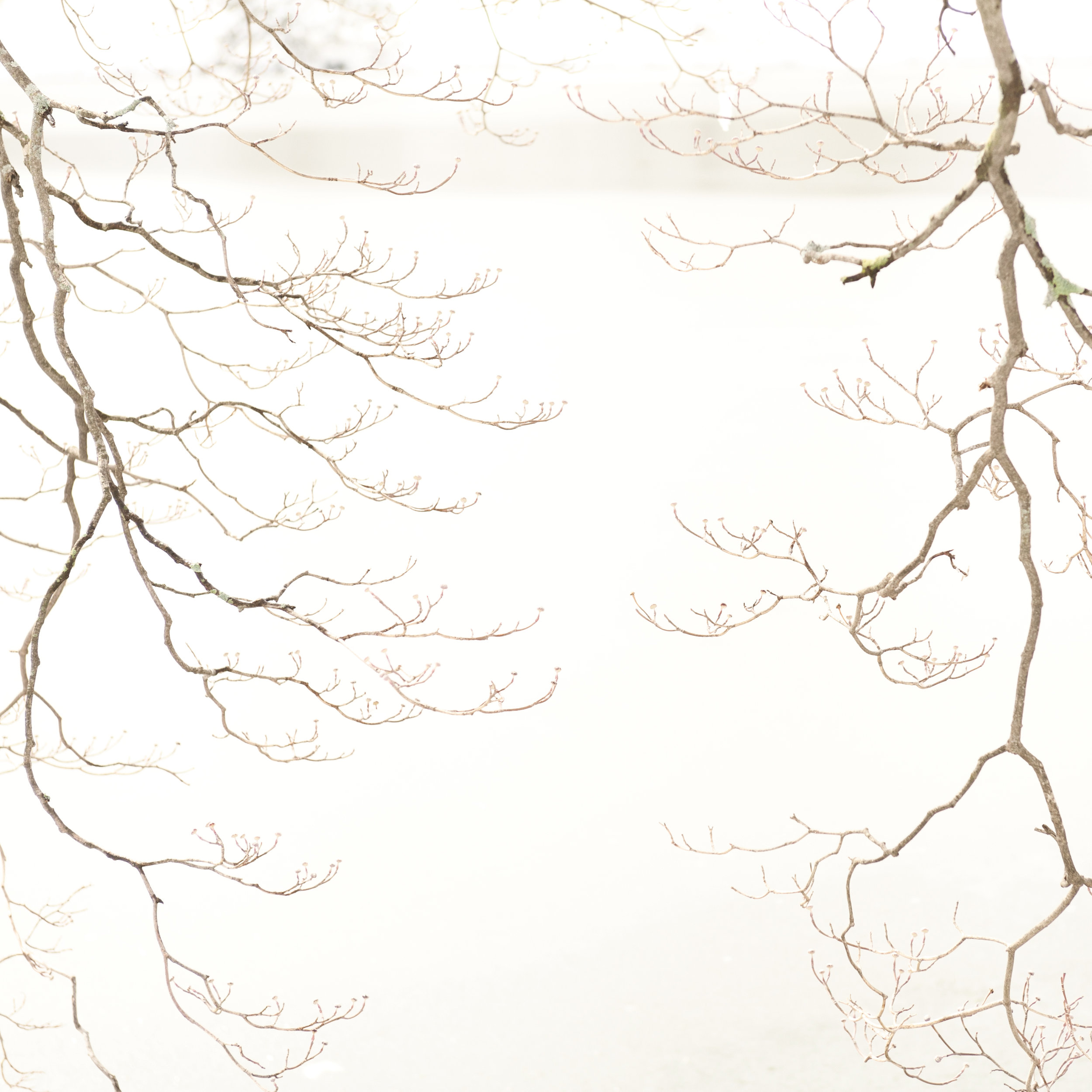 Study in Snow, Dogwood Tree, 4