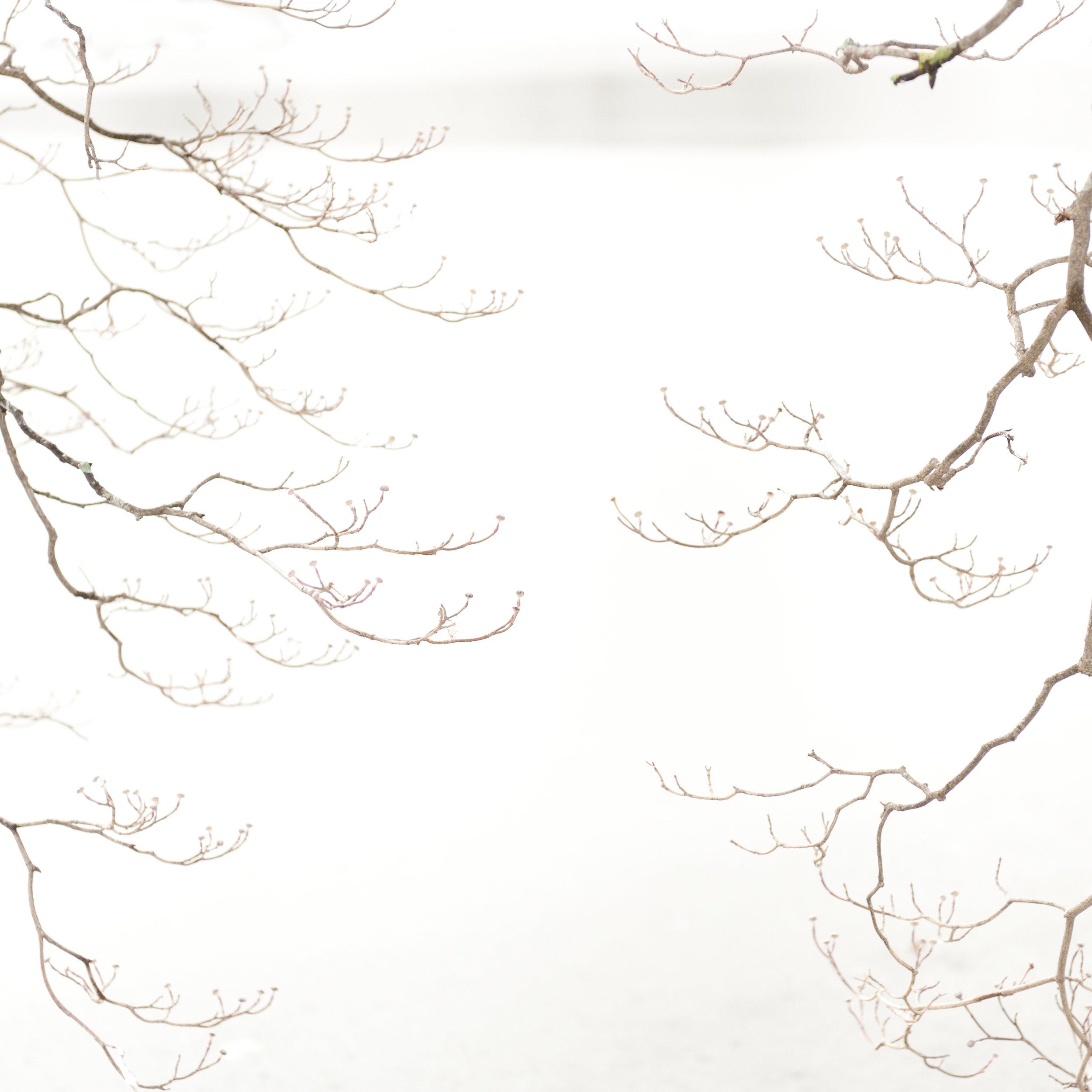 Study in Snow, Dogwood Tree, 6
