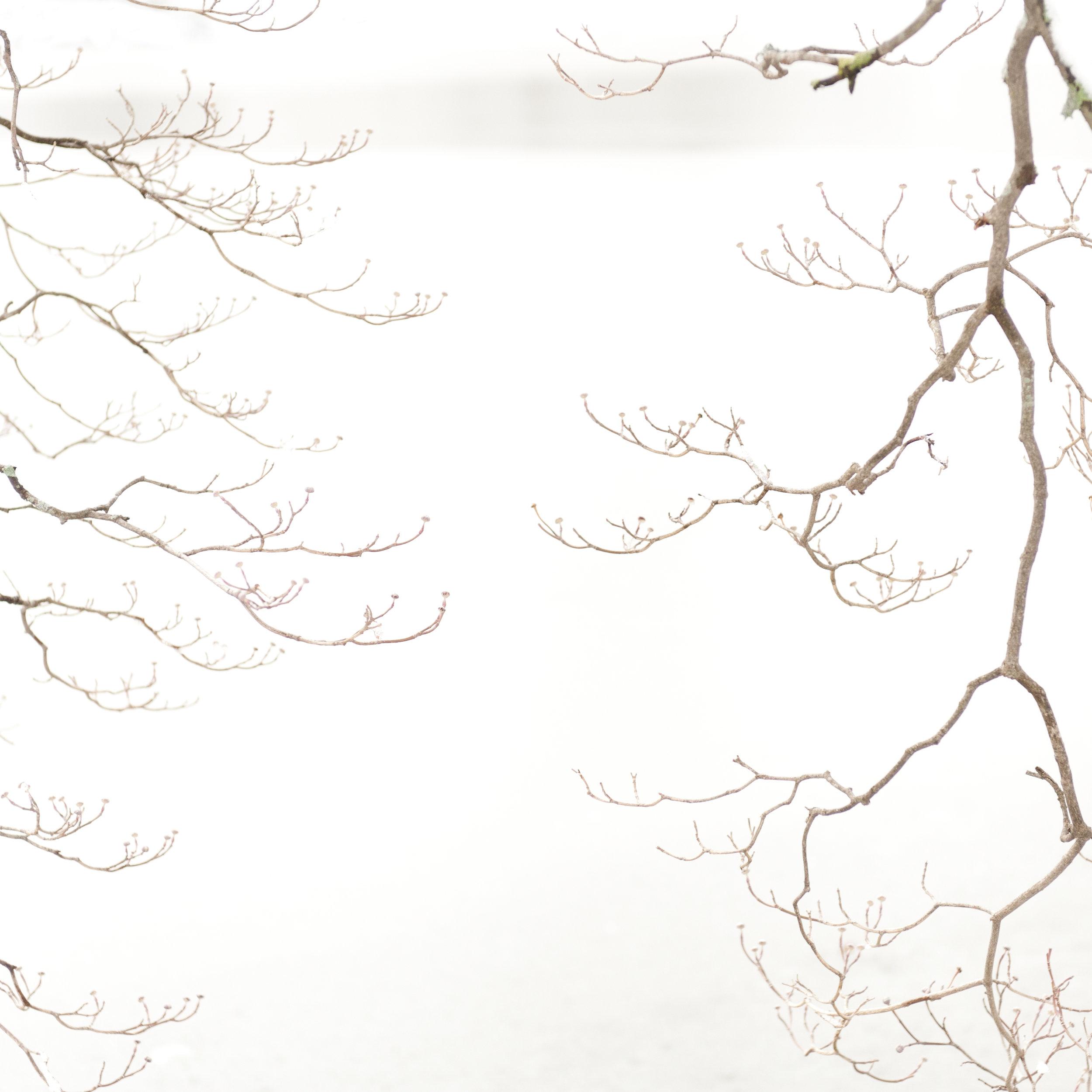 Study in Snow, Dogwood Tree, 7