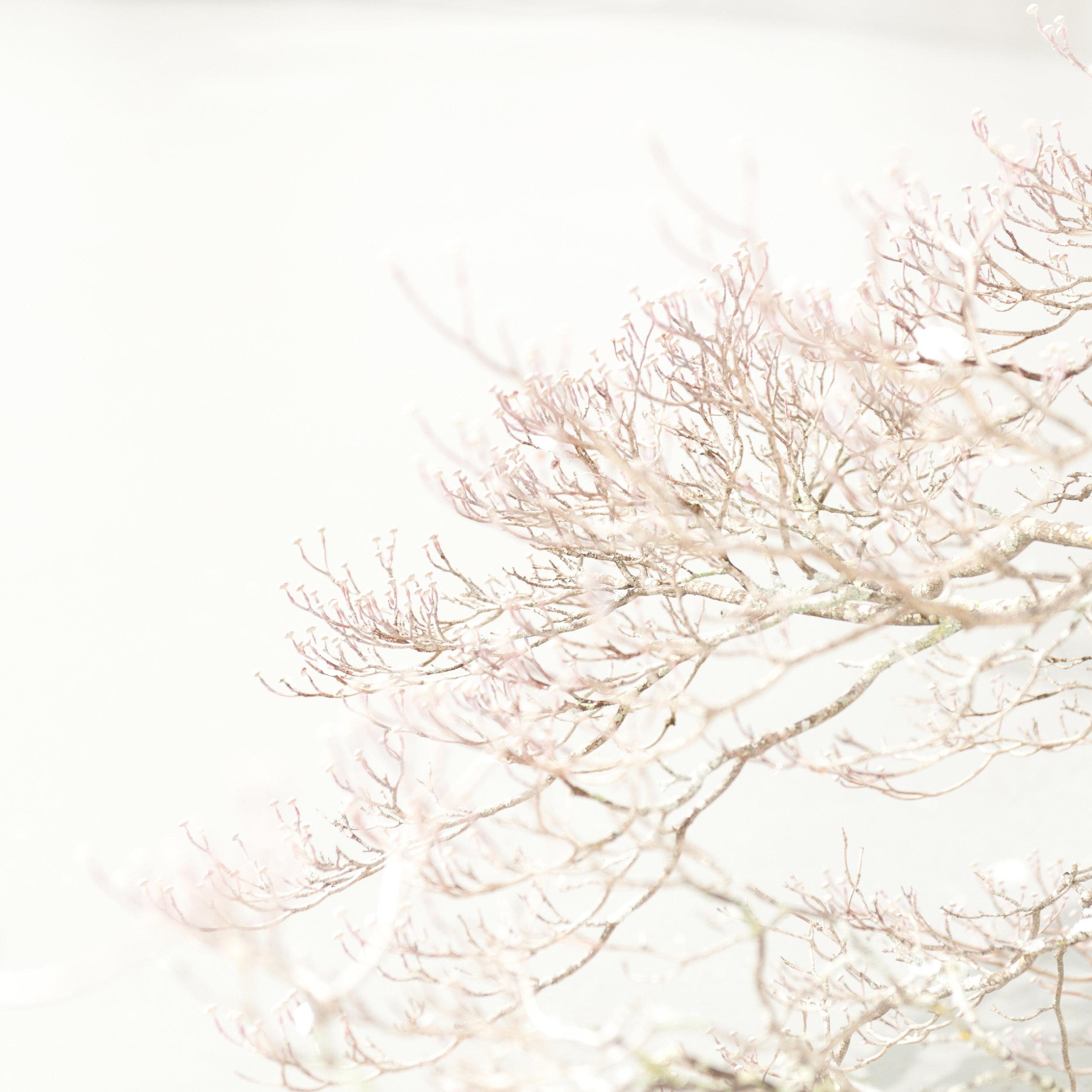 Study in Snow, Dogwood Tree, 11
