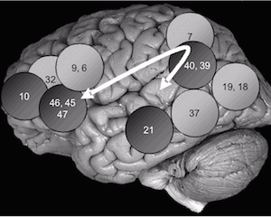 The Parieto-Frontal Integration Theory (P-FIT) of Intelligence (PDF)