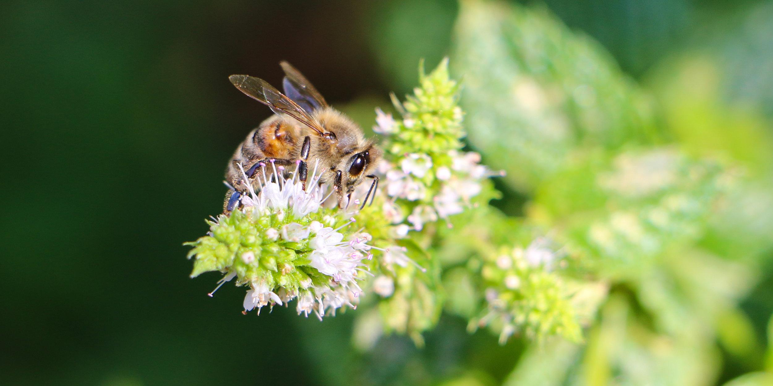 Honey Bee on Mint Wide.jpg