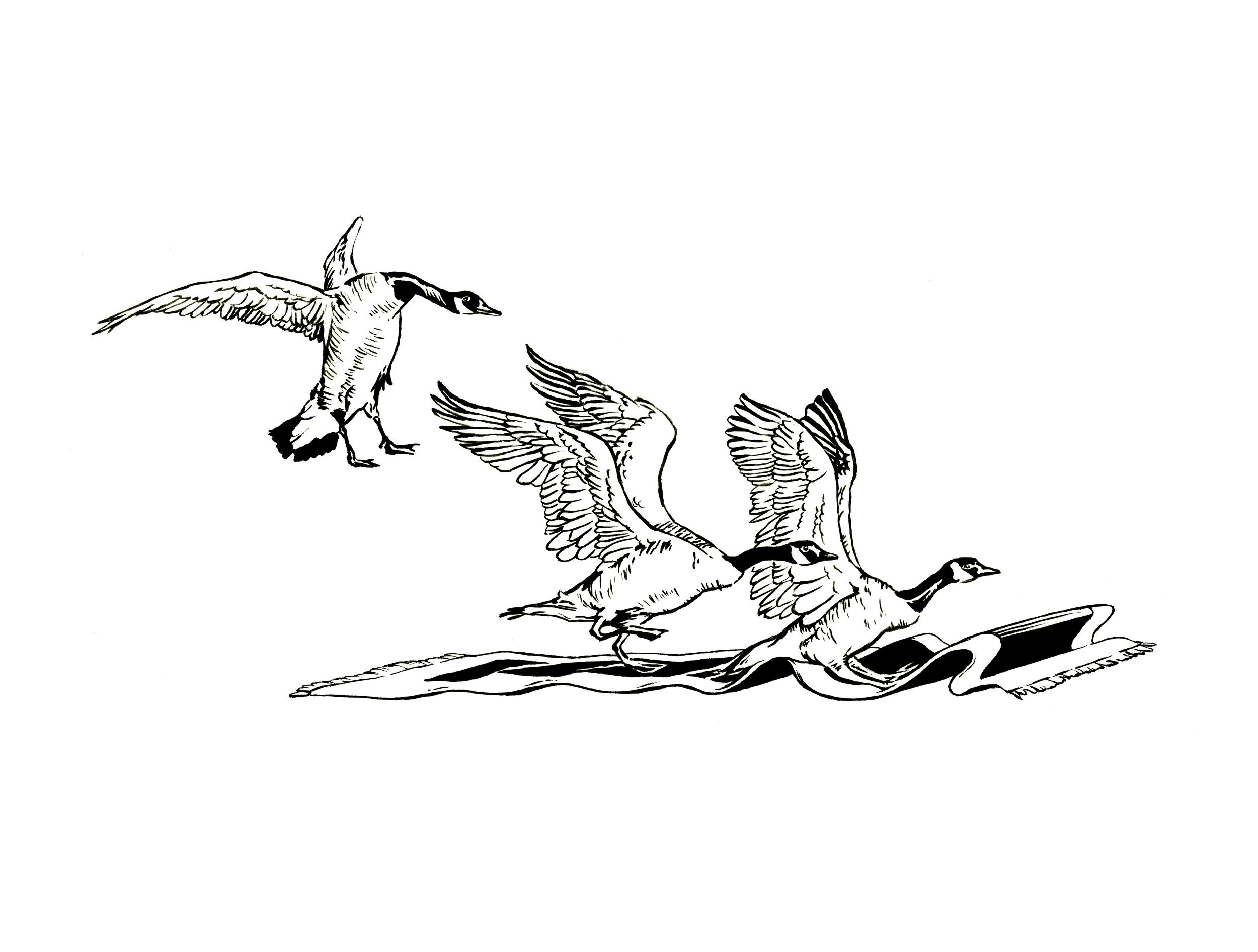 lauritano_2014_dm_geese.jpg