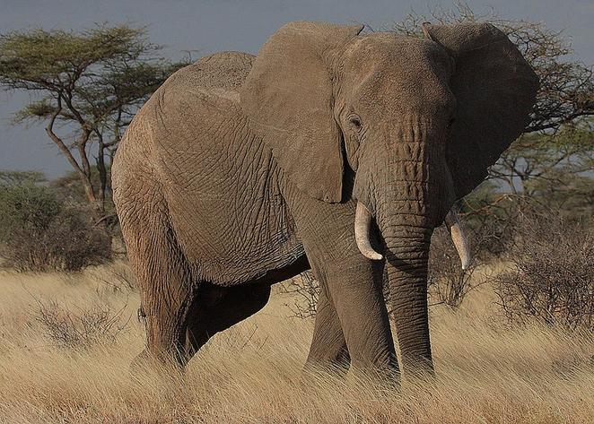 elephant_tramples_poacher.jpg.662x0_q100_crop-scale.jpg