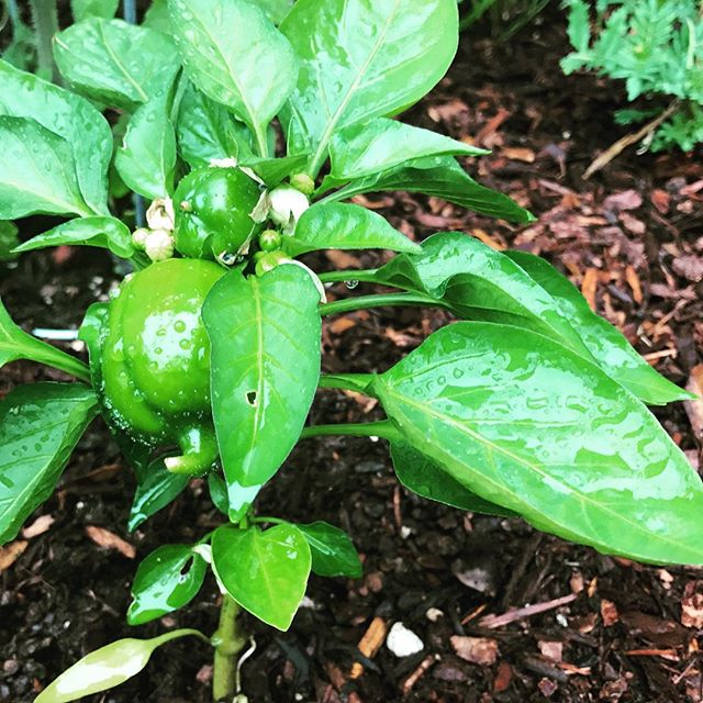 Good morning peppers. #Sunny days in the #PNW has made things pop!