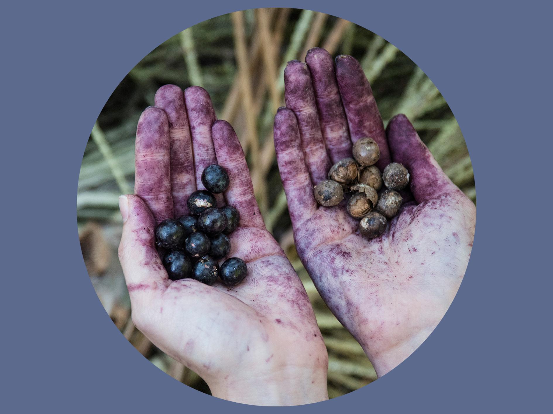 Left: Freshly picked Açaí berries    Right: Fermented Açaí berries after 3 days