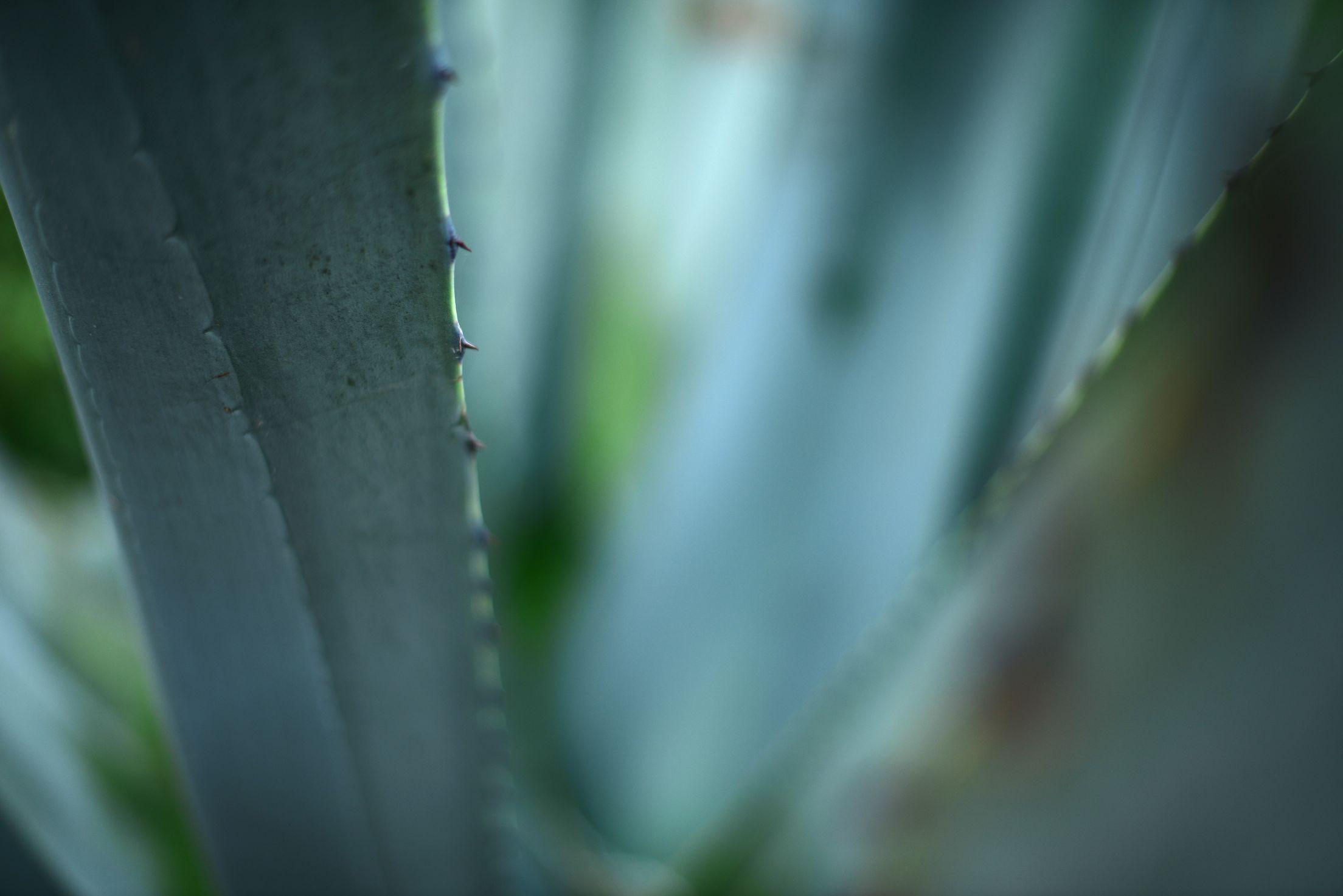 cactus in aotearoa