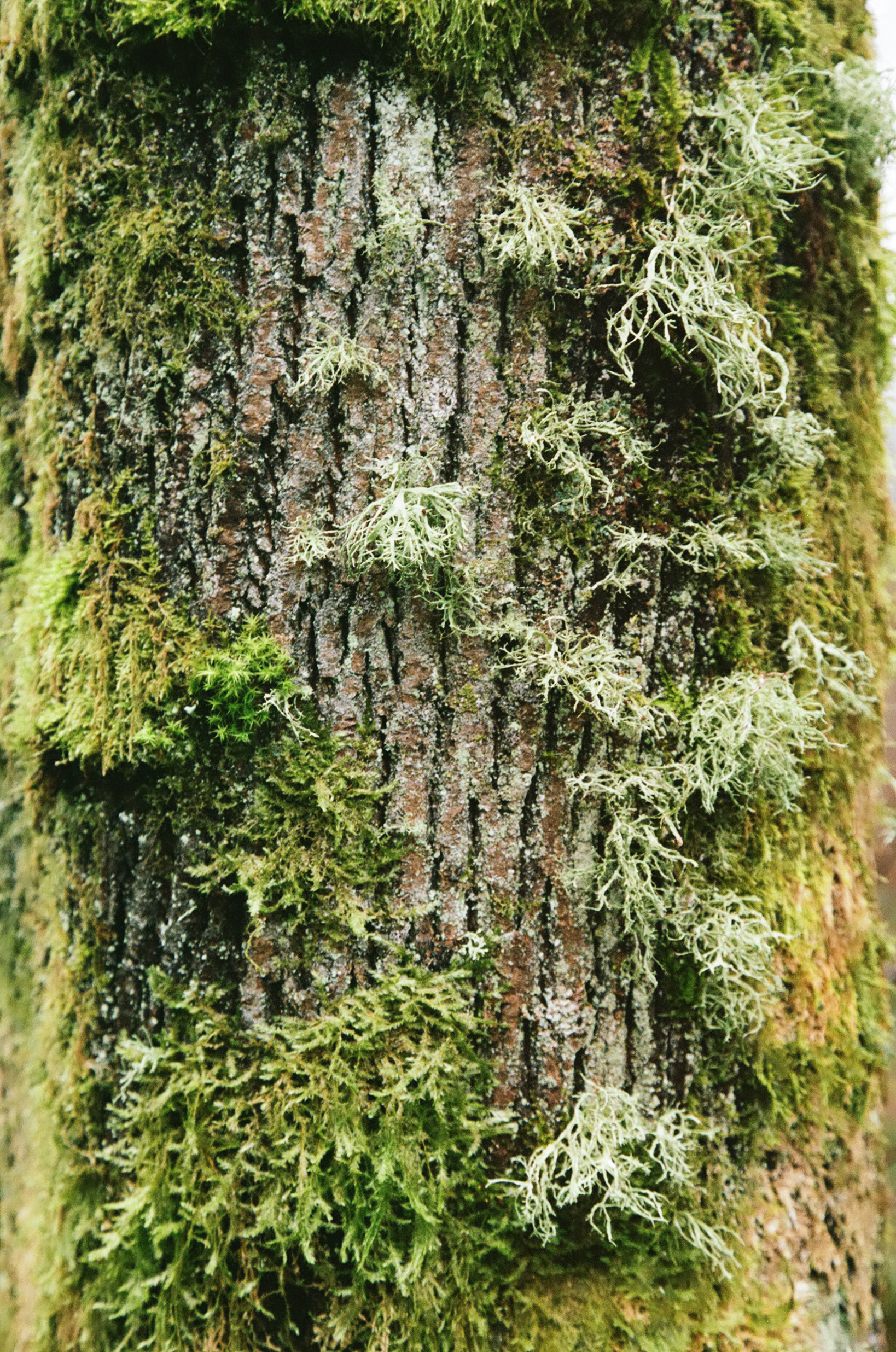 seattle-moss-tree-cameliamanea.jpg