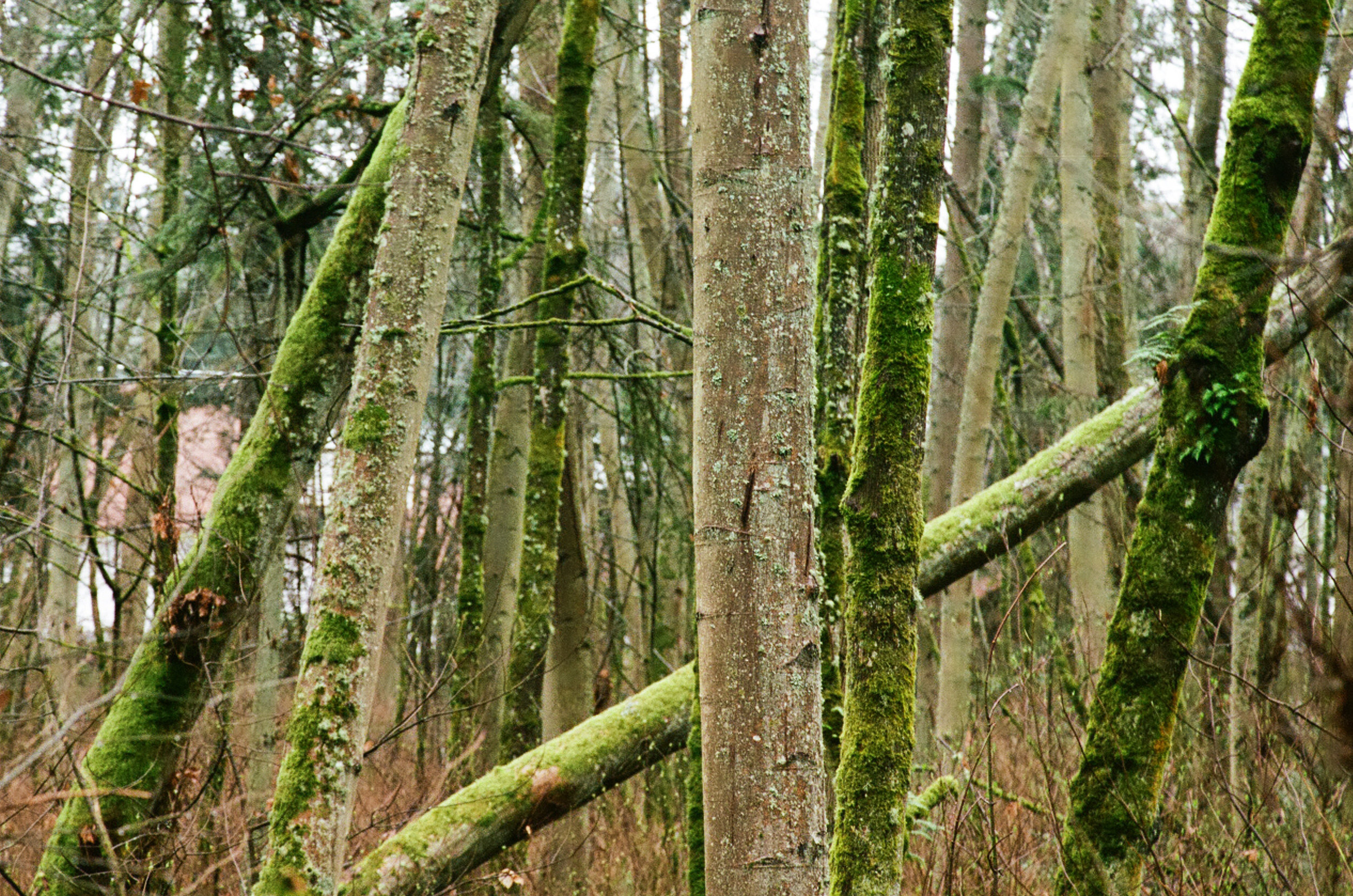 seattle-forest-trees-2-cameliamanea.jpg