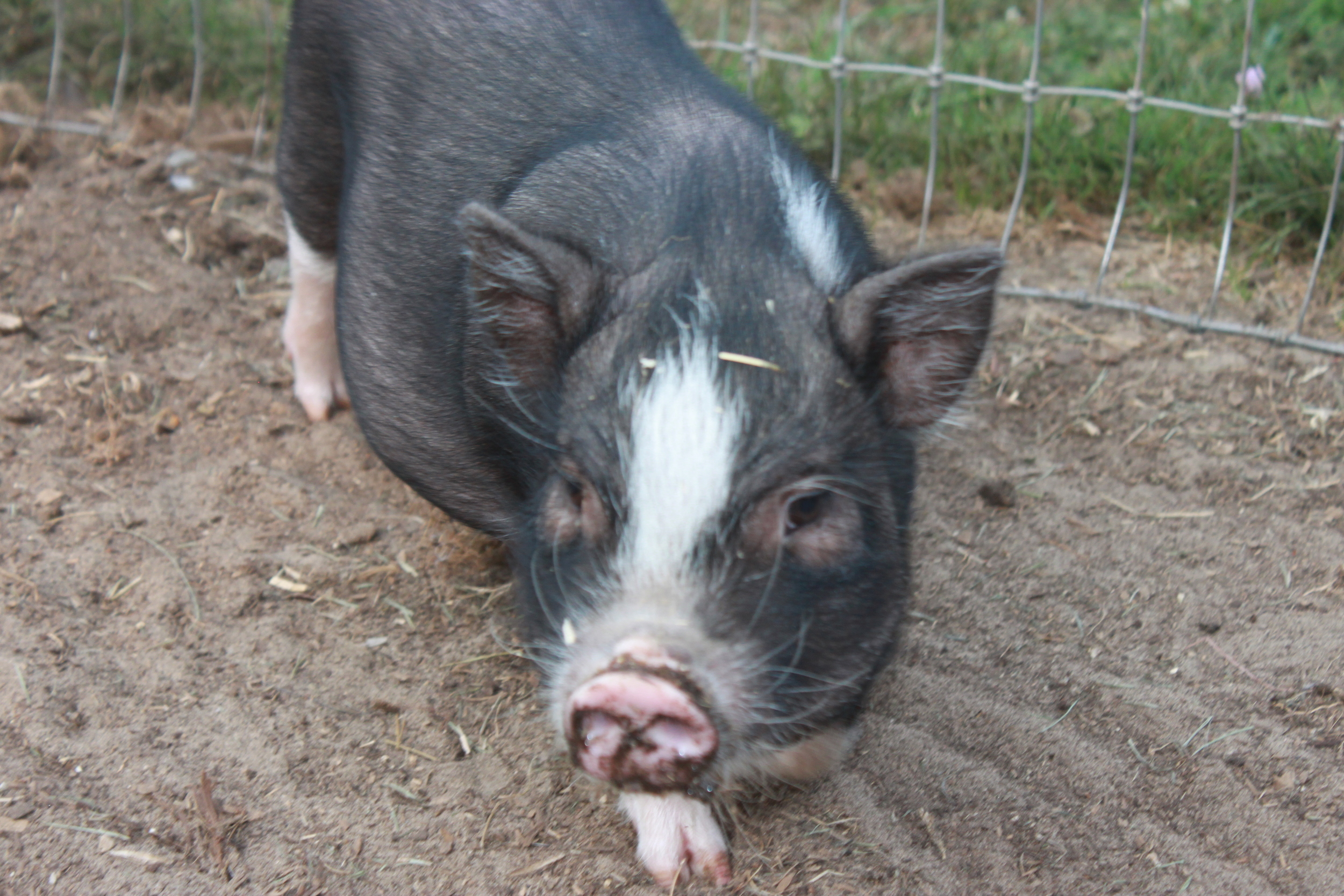 Oliver, the youngest pig