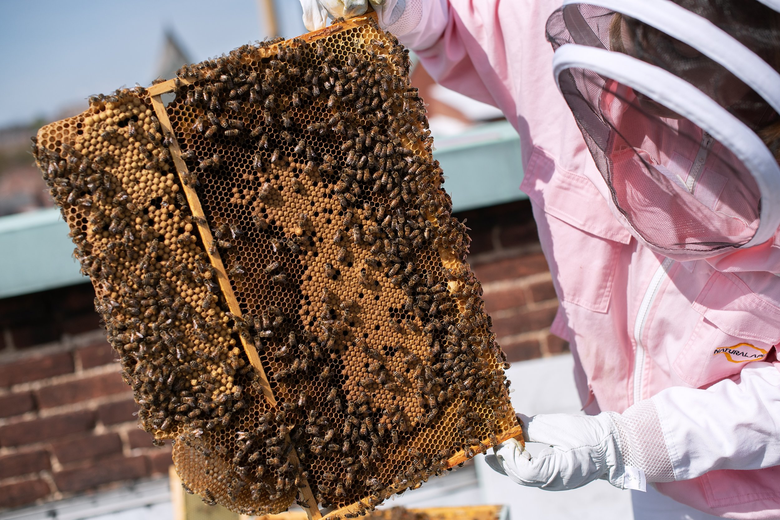 Urban beekeeping is making a buzz in Downtown York.  Photo courtesy of YRK Creative .