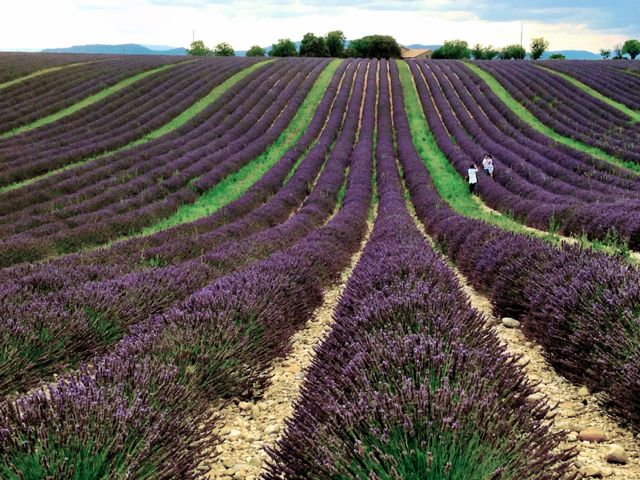 Provence lavender fields – like you're standing inside a Van Gogh painting, but the vivid sweet scent makes it real. Photo and caption text by Aysha Griffin.