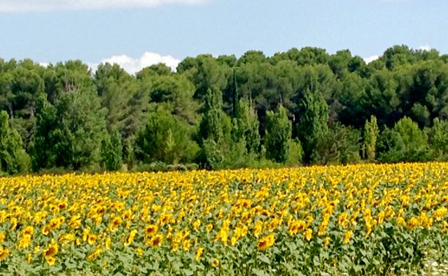 I know of no happier sight than sunflower fields, so I smiled my way from Provence to Dijon along two-lane roads dotted with sunflowers and vineyards. Caption and photo by Aysha Griffin.