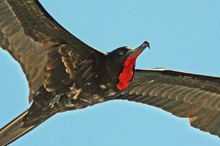 Frigate Bird in Flight.jpeg