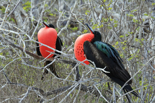 Frigate Birds Displaying.jpeg