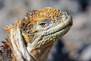Land Iguana.jpeg