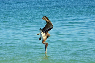 Pelican Diving.jpeg