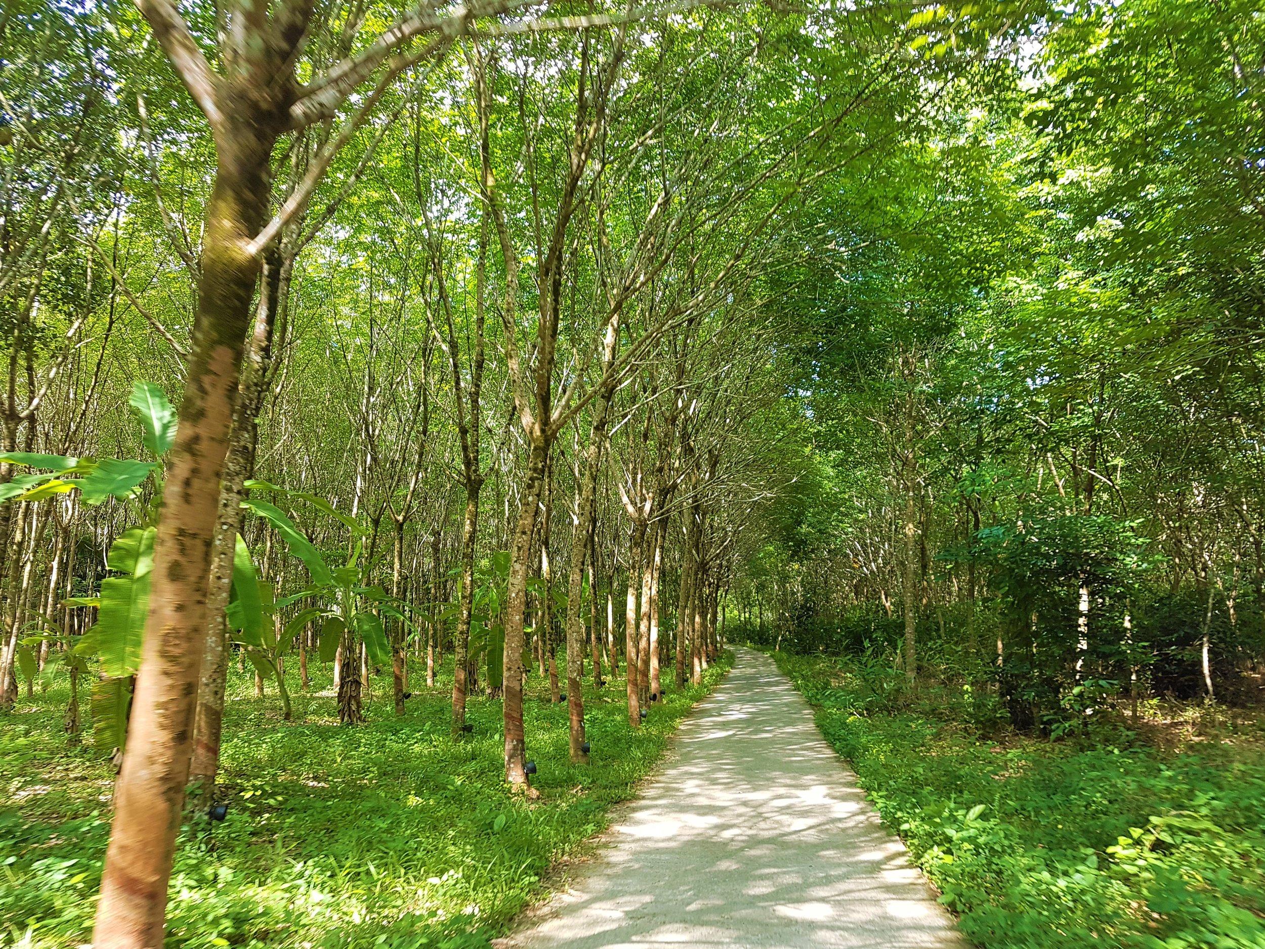 Verdant rubber trees.