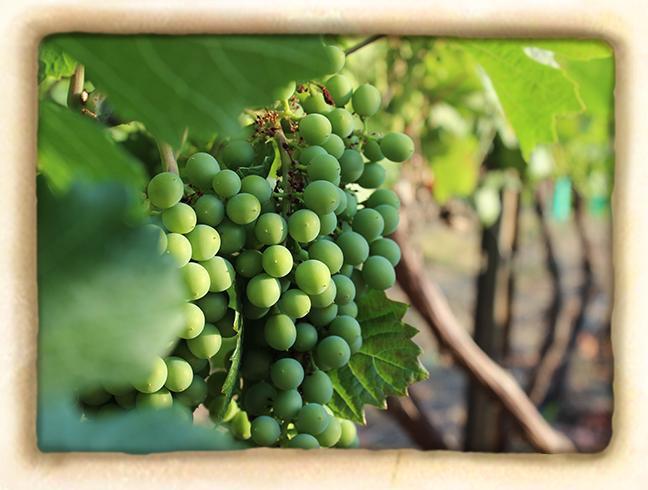 Vineyard-slide3.jpg