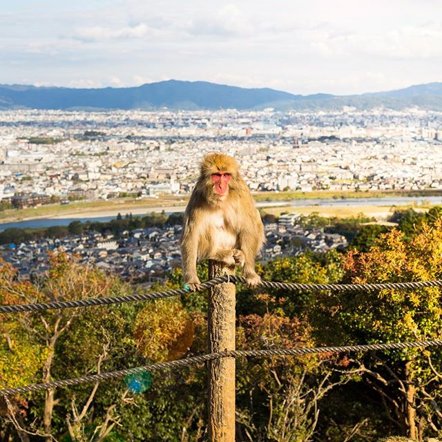 How is this for a view?What a lucky monkey. We visited the monkey park in Arashiyama, Kyoto. It was a completely different experience to the crazy monkeys in Bali. Honestly, it was no surprise that even Japanʻs monkeys are well behaved. They had strict rules on only feeding them only through a fenced area. It trained the monkeys to only eat this way instead of jumping all over everyone. We also saw workers occasionally running and yelling at them to keep them from being too comfortable with humans. 😂