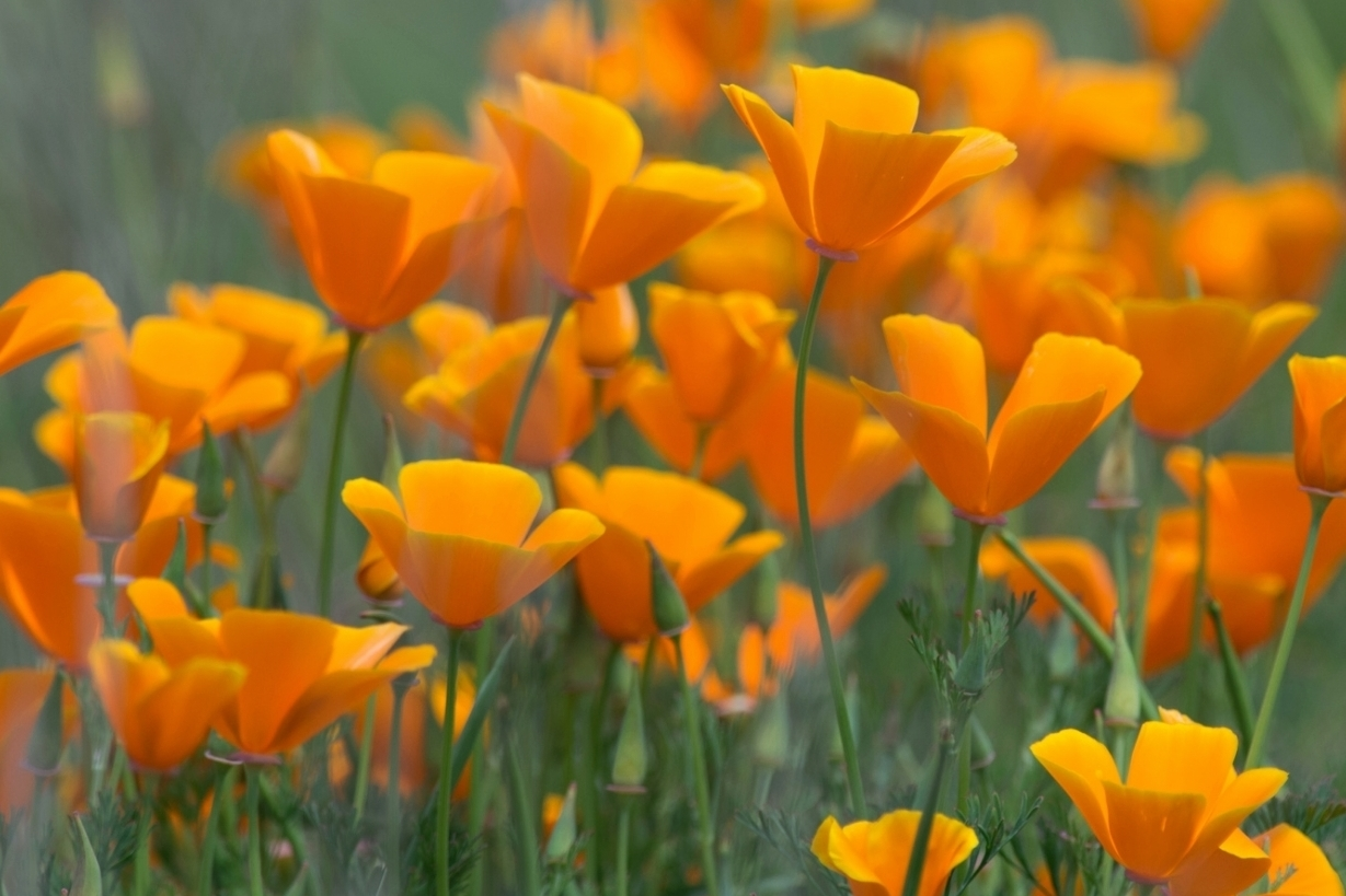 California Poppies, SCZ (CA)