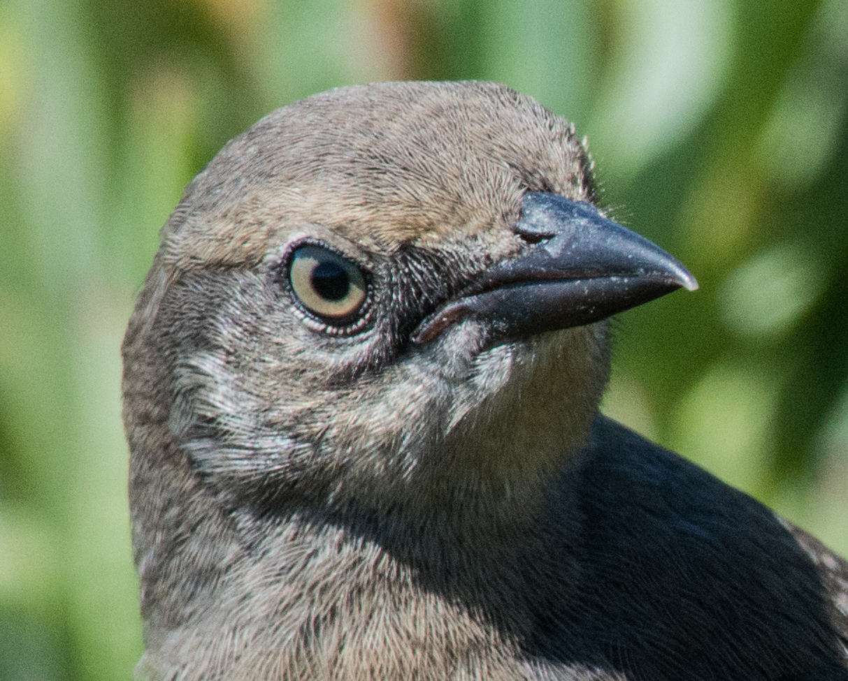 Photo of the Week: Cropping, to bring even closer  Brewer's Blackbird (Euphagus cyanocephalus), Santa Cruz, CA  EQ: D800 f/2.8 300mm with 1.7x TC Taken: 7-25-14 11:46  Setting: 500mm, f/10, 1/1600s, ISO1600 Condition: Sunny (fog just broke)