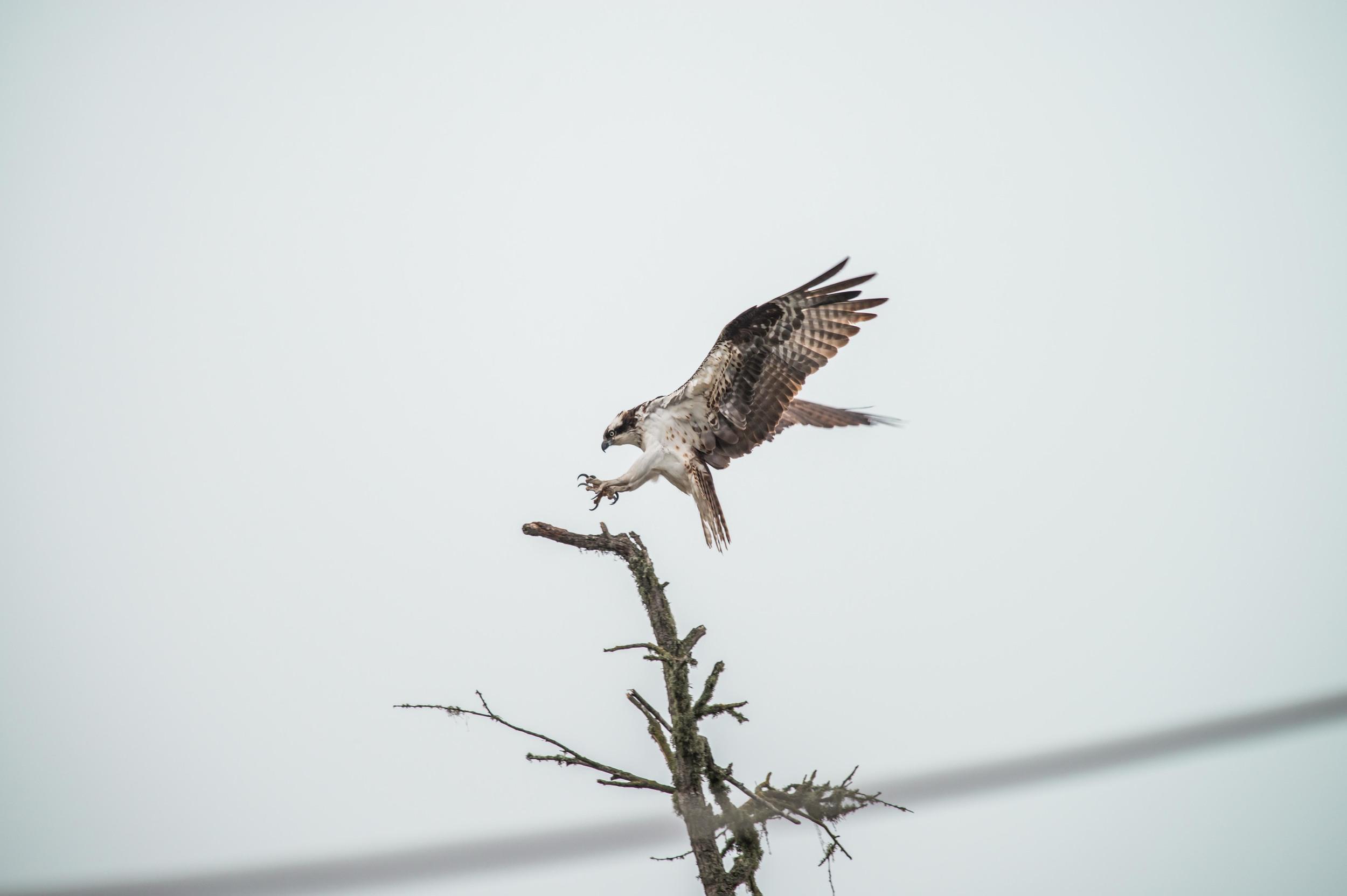 Original:  Osprey (Pandion haliaetus) , Santa Cruz, CA