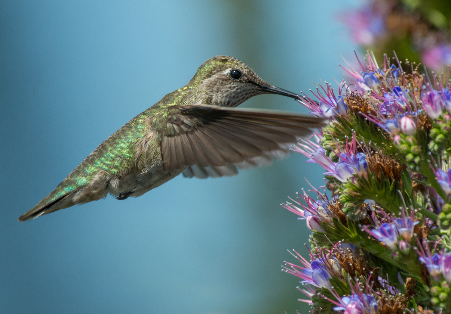 Photo of the Week:   Anna's hummingbird  (Calypte anna) in flight   EQ: D800 f/2.8 300mm with 2.0x TC Taken: 3-22-13 12:35  Setting: 600mm, f/8, 1/1600s, ISO720  Condition: Sunny but in some shade