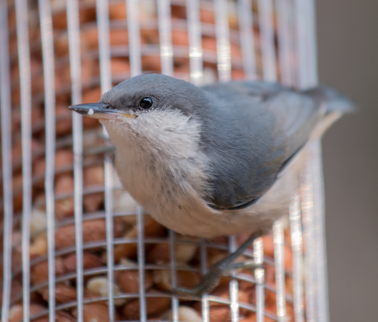 Photo of the Week 5:  Pygmy Nuthatch, immature (Sitta pygmaea)   EQ: D800 f/4 70-200mm Taken: 8-5-14 17:45  Setting: 200mm, f/4, 1/800s, ISO800  Condition: Sunny in shade of an oak