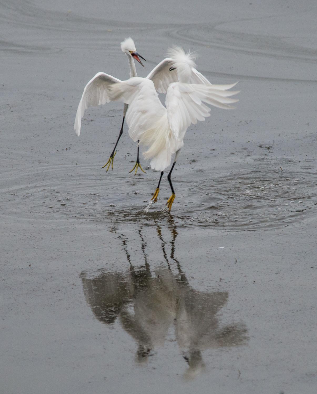 Photo of the Week 6:  Snowy Egret (Egretta thula)   EQ: D800 f/2.8 300mm with 1.7x TC  Taken: 8-8-14 7:12  Setting: 500mm, f/4.8, 1/500s, ISO1400, VR on  Condition: Very Foggy
