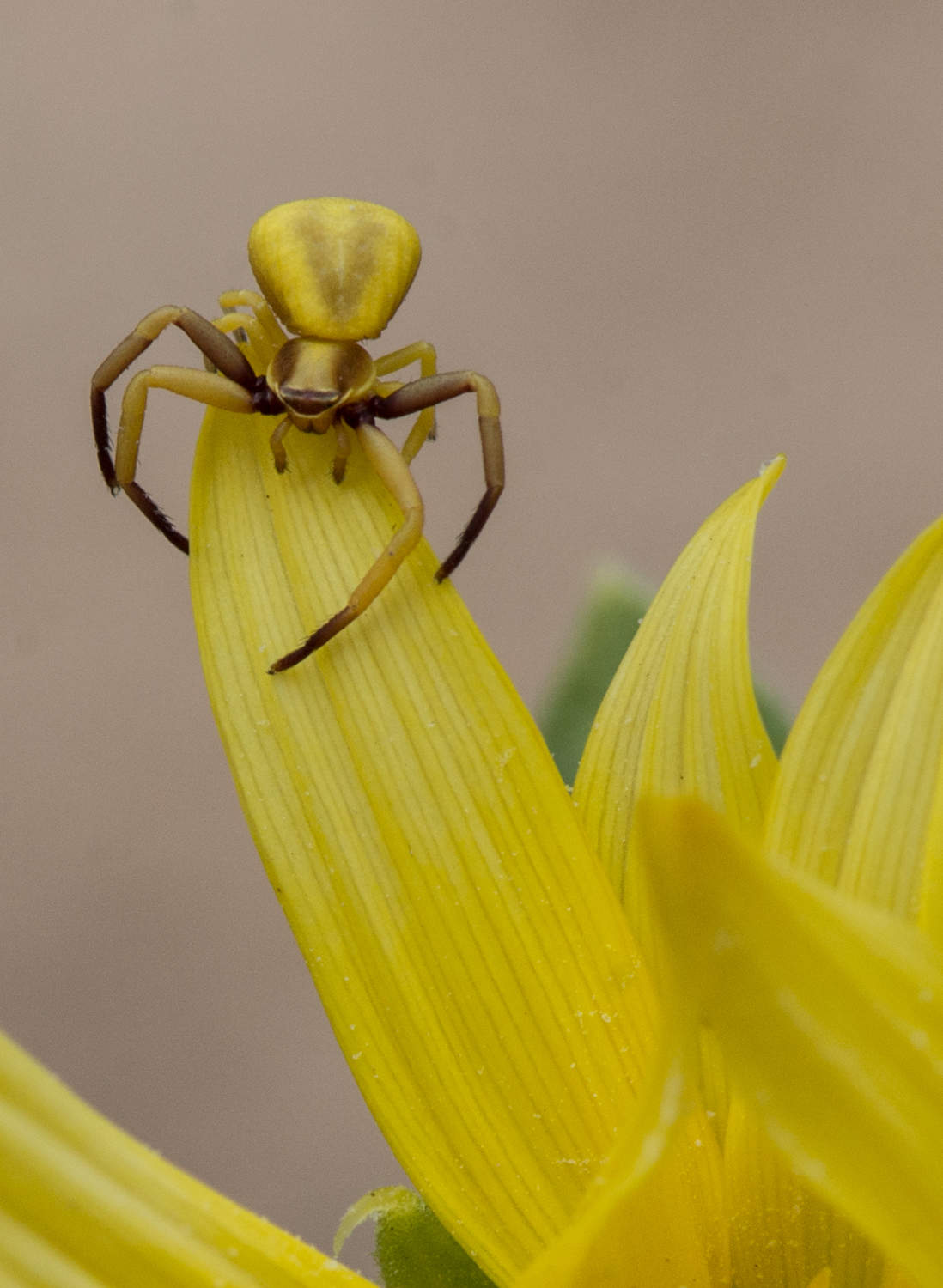 Crab Spider  Setting: 105mm, f/14.0, 1/160s, ISO400  Condition: Sunny in shade, 6-21-14 13:55