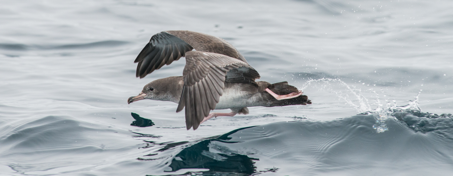 Photo of the Week 7: Pink-footed Shearwater (Puffinus creatopus)  EQ: D800 f/2.8 300mm with 1.7x TC  Taken: 8-16-14 16:46  Setting: 500mm, f/7.1, 1/2000s, ISO1000, VR on  Condition: Very Foggy, Calm Seas