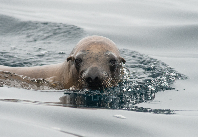 California Sea Lion (Zalophus californianus)  Setting: 500mm, f/76.3, 1/2500s, ISO720, VR on  Taken: 8-16-14 16:46