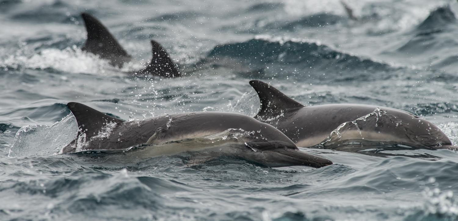 Long-beaked Common Dolphin (Delphinus capensis)  Setting: 500mm, f/6.3, 1/2500s, ISO800, VR on  Taken: 8-16-14 16:44